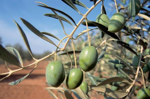 BioCos: Μια πλατφόρμα που διακρίνει τις ποικιλίες ελιάς με χρήση αλγόριθμου